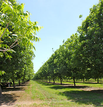 Pecan-Shed-Orchard-2