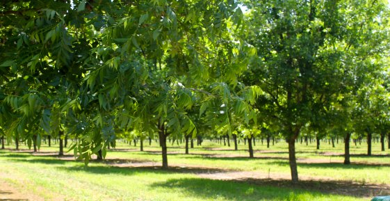 Pecan Shed Orchard